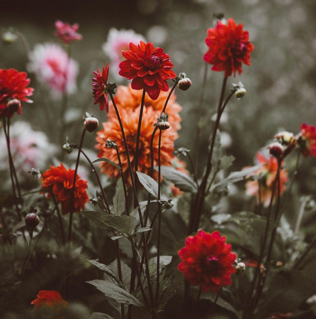 rośliny za darmo czerwone